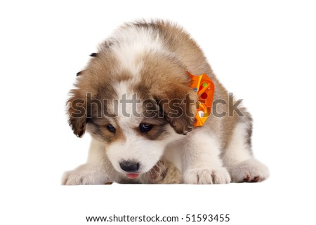 picture of a bucovinean shepard puppy over white looking at something - stock photo