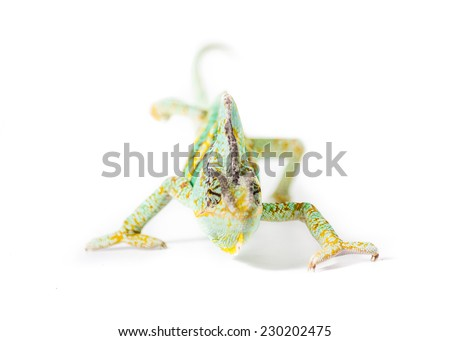 Picture of a chameleon on a white background  - stock photo