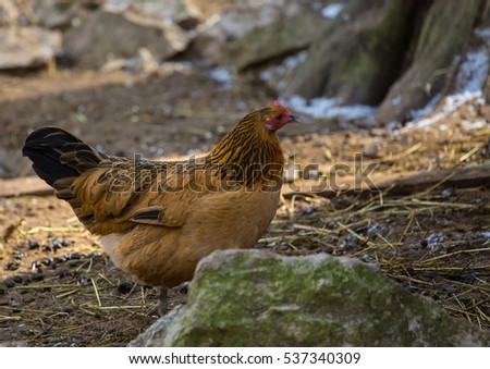 Picture of a chicken