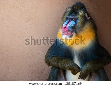 Picture of a colourful displeased mandrill - stock photo