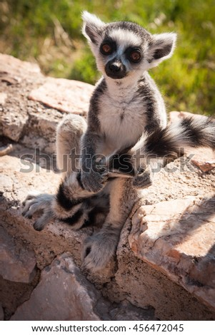 Picture of a cute and funny baby lemur sitting on a log holding its tail
