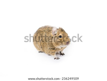 Picture of a cute Degu