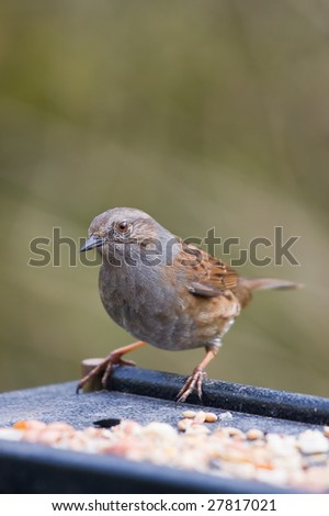 picture of a dunnock on a feeding table