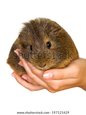 Picture of a female hand holding a guinea pig - stock photo