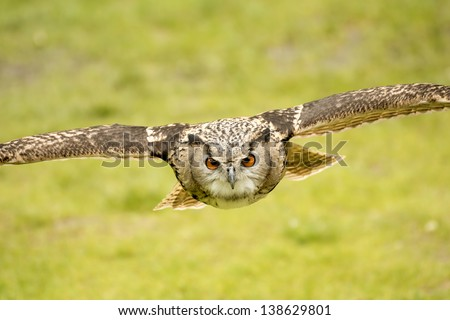 picture of a flying eagle owl - stock photo