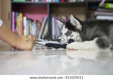 Picture of a funny husky puppy playing with a sock at home - stock photo
