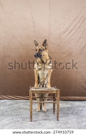 Picture of a German Shepherd posing for camera with background.