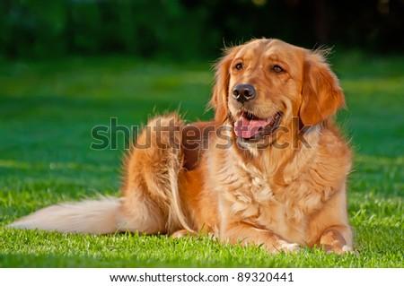 Picture of a Golden Retriever, horizontal shot. - stock photo