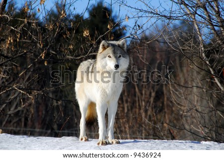Picture of a Gray Wolf in it's natural Winter habitat - stock photo