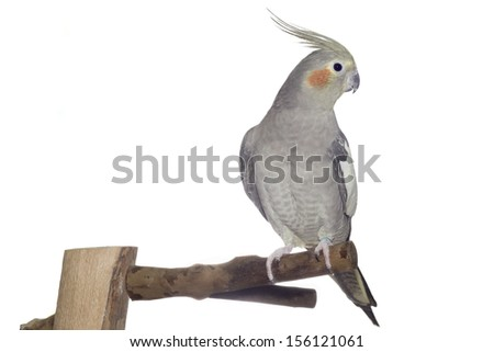 Picture of a grey female cockatiel perching on a branch isolated on white - stock photo