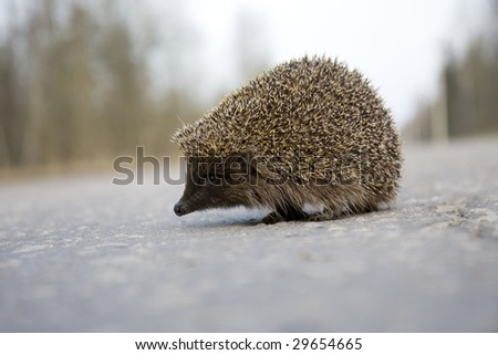 Picture of a hedgehog on the road - stock photo