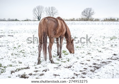 Picture of a horse in the snow. - stock photo