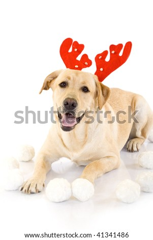 picture of a labrador deer standing over white near fur balls