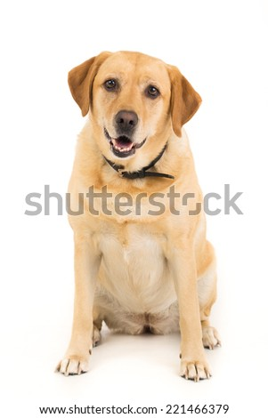Picture of a Labrador on a white background