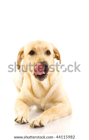 picture of a labrador retriever puppy licking his mouth