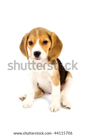 picture of a lazy beagle puppy in front of white background