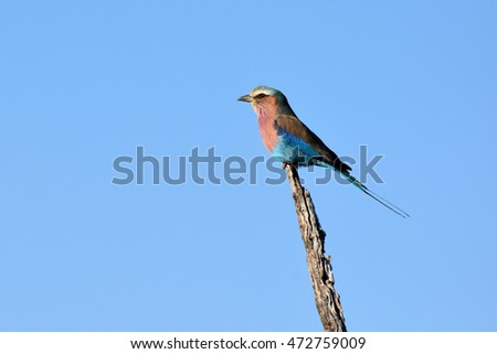 picture of a lilac-breasted roller in Madikwe reserve,South Africa.