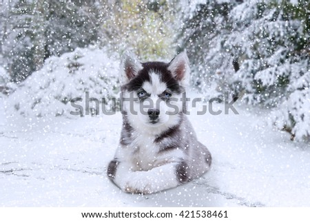 Picture of a little husky dog lying on the snow at winter day and staring on the camera - stock photo