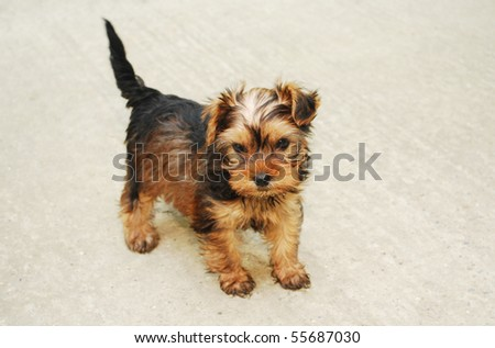 Picture of a littleYorkshire Terrier looking very sweet - stock photo