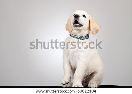 picture of a playful golden labrador retriever puppy - stock photo
