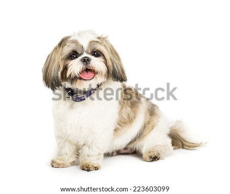 Picture of a Shih tzu sat on a white background - stock photo