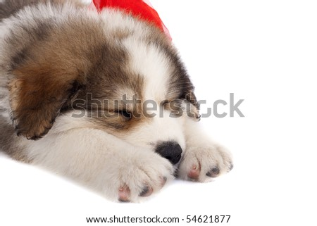 picture of a sleeping bucovinean  shepard puppy over white , wearing a red neck-bow - stock photo