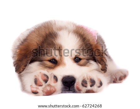 picture of a sleepy bucovinean sheperd puppy stretching on a white background - stock photo