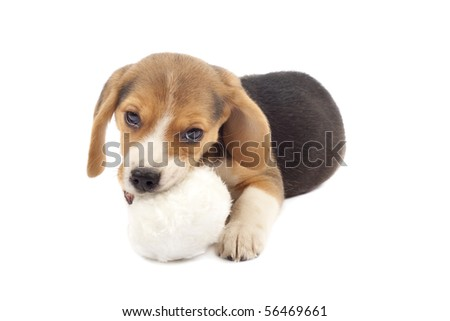 picture of a small beagle puppy chewing on a fur ball - stock photo