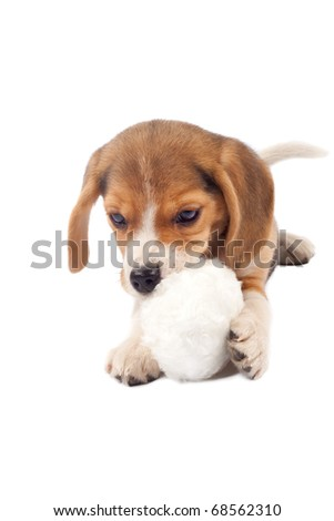 picture of a small beagle puppy chewing on a fur ball
