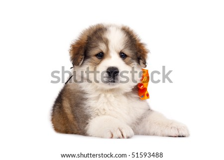 picture of a small bucivinean shepard puppy over white - stock photo