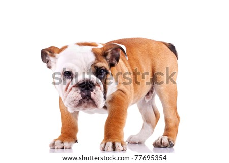 picture of a standing english bulldog puppy  looking at the camera