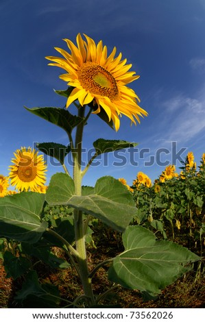 Picture of a sunflower in early morning sunlight - stock photo