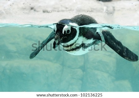 Picture of a swimming pengum at zoo.