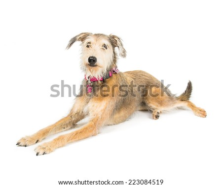 Picture of a terrier cross whippet laying on a white background - stock photo
