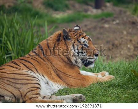 Picture of a Tiger outside