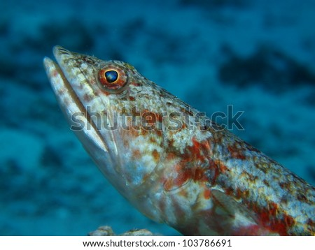 Picture of a Variegated lizard fish