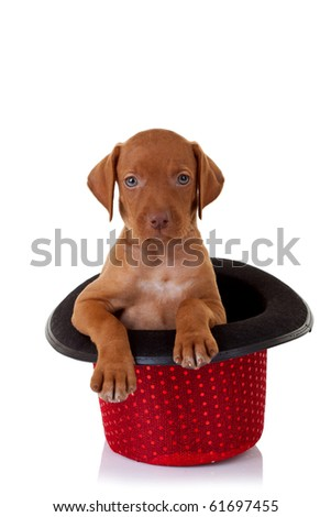 picture of a vizsla puppy in a red show hat
