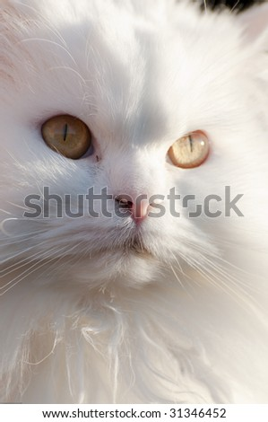 Picture of a white persian cat.