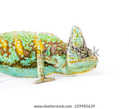 Picture of a Yemen Chameleon - stock photo