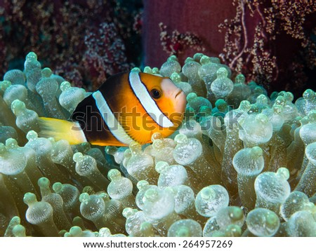 Picture of anemone fish also known as clown fish on its home the anemone taken while scuba diving - stock photo