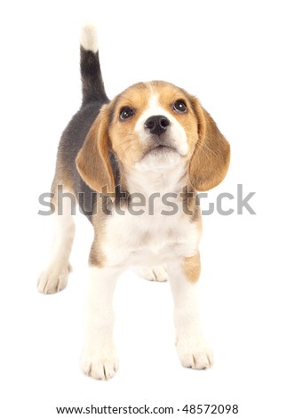 Picture of Beagle dog looking to the top - stock photo