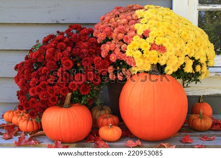 Picture of beautiful arrangement of typical for Autumn and Thanksgiving pumpkins, mini pumpkins and red, yellow and pink fall mums in front of country old wooden home used as background - stock photo