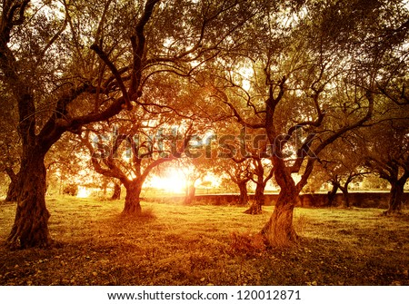 Picture of beautiful orange sunset in olive trees garden, agricultural landscape, lebanese farmland, vegetable produce industry, seasonal nature, fruit cultivation, healthy nutrition concept - stock photo