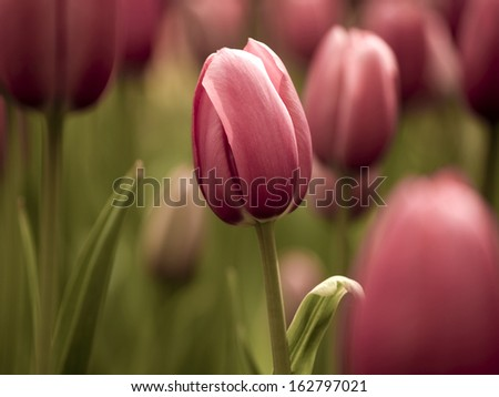 Picture of beautiful tulips on shallow deep of field - stock photo