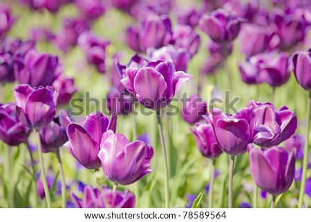 Picture of beautiful tulips on shallow deep of field