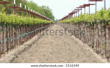 Picture of California Vineyard ( central valley area) - stock photo