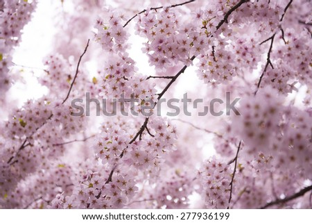 Picture of cherry wood in blossom