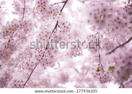 Picture of cherry wood in blossom - stock photo
