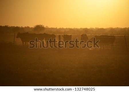 Picture of cows in Argentina - stock photo