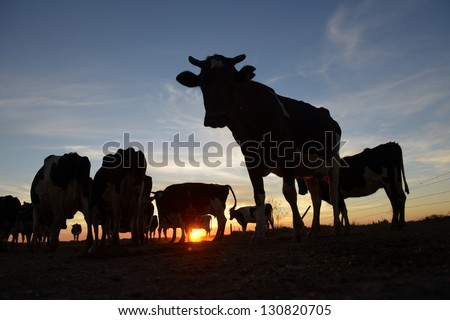 Picture of cows silhouette in Argentina - stock photo